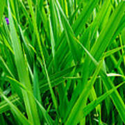 Tall Green Grass Poster