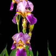 Tall Iris Poster