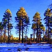 Tall Ponderosa Pine Poster