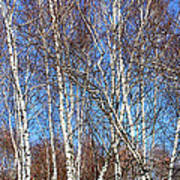 Tall White Birches Poster