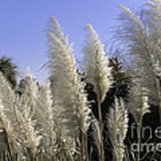 Tall Wispy Pampas Grass Poster