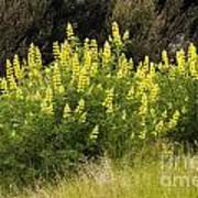 Tall Yellow Lupin Poster