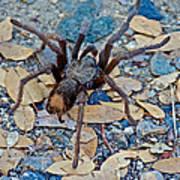 Tarantula Spider In Park Sierra Near Coarsegold-california Poster