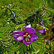 Tarbush In Chihuahuan Desert Of Big Bend National Park-texas   Poster