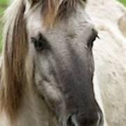 Tarpan Horse Poster