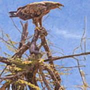 Tawny Eagle  Aquila Rapax Calling From  Acacia Bush Poster