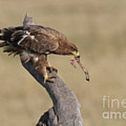 Tawny Eagle With Prey Poster