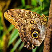 Tawny Owl Butterfly Poster