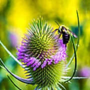Teasel And Bee Poster