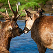 Tender Kiss. Deer In The Pamplemousse Botanical Garden. Mauritius Poster by Jenny Rainbow