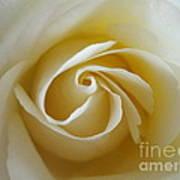 Tenderness White Rose Poster