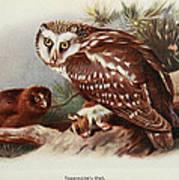 Tengmalms Owl Poster
