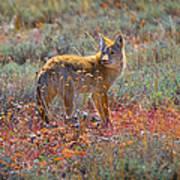 Teton Coyote Poster