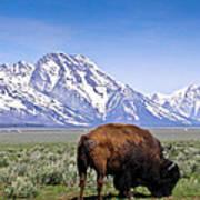Tetons Buffalo Range Poster