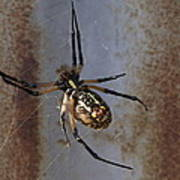 Texas Barn Spider In Web 2 Poster