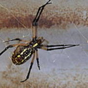 Texas Barn Spider In Web 3 Poster