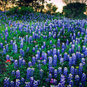 Texas Bluebonnet Field Poster