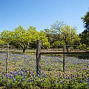 Texas Bluebonnet Lupine Pature Poster