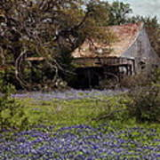 Texas Bluebonnets With Old Abandoned Shack Poster