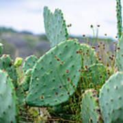 Texas Cactus Poster