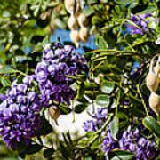 Texas Mountain Laurel Sophora Flowers And Mescal Beans Poster