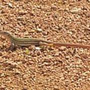Texas Striped And Spotted Whiptail Lizard Poster