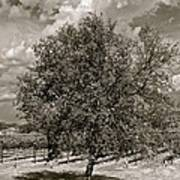 Texas Winery Tree And Vineyard Poster