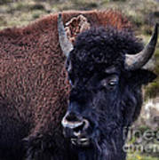 The American Bison Poster