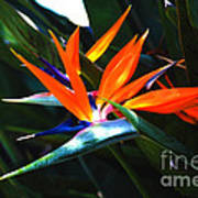 The Beauty Of A Bird Of Paradise Poster