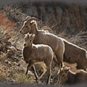 The Bighorns Poster