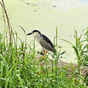 The Black-crowned Night Heron Poster