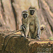 The Black-faced Vervet Monkey Poster