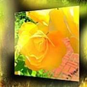 The Blushing Yellow Rose Poster