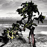 The Catus Tree Siesta Key Florida Poster