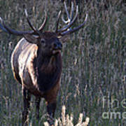 The Elegant Elk Poster