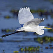 The Elegant Great Egret In Flight Poster