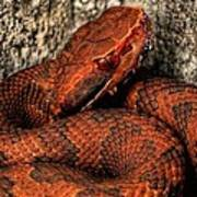 The Florida Cottonmouth Poster