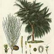 The Four-flapped Casuarina Poster