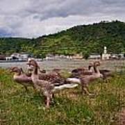 The Geese Of St Goar Am Rhein Poster