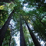The Giant Redwoods I Poster