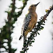 The Gila  Woodpecker Poster