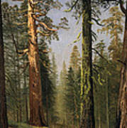 The Grizzly Giant Sequoia Mariposa Grove California Poster