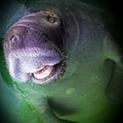 The Happy Manatee Poster by Karen Wiles