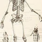 The Human Skeleton Poster