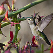 The Hummingbird And The Slipper Plant  Poster