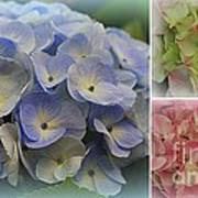 The Hydrangeas Of Late Spring Poster