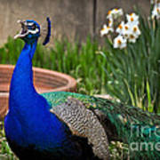 The Indian Peafowl Poster