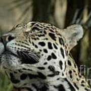 The Jaguar's Gaze Poster
