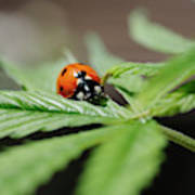 The Ladybug And The Cannabis Plant Poster