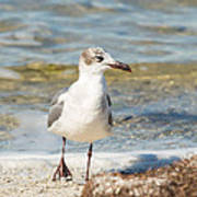 The Laughing Gull Strut Poster